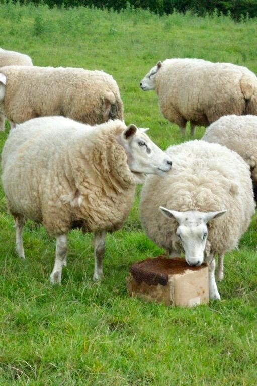Ethical Farm Supplies - Molamins Mineral Buckets - Sheep Molamin